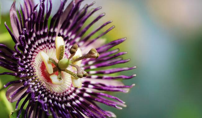 passiflora-nedir-nasil-kullanilir