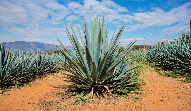 Agave şurubu nedir ve nasıl kullanılır, agave şurubu zararları nelerdir?